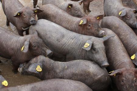 Des porcs ibériques dans une ferme