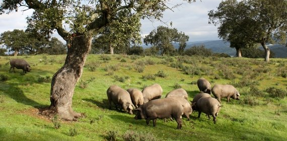 Porcs ibériques de GM e Hijos sur la dehesa