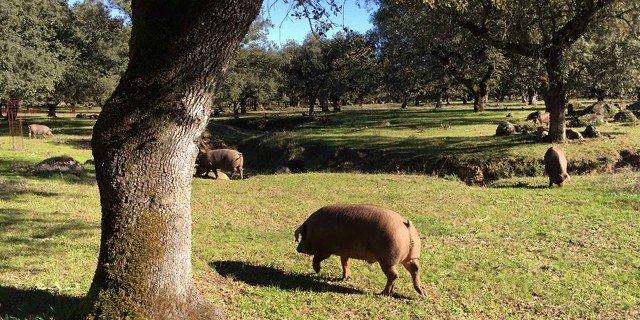 Porcs ibériques dans une dehesa