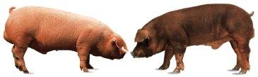 Porcs blancs (Landrace et Duroc)