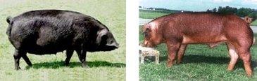Porcs Large Black (à gauche) et Duroc (à droite)
