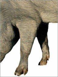 Membre antérieur d'un porc ibérique