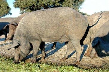 Porc ibérique (Retinto)